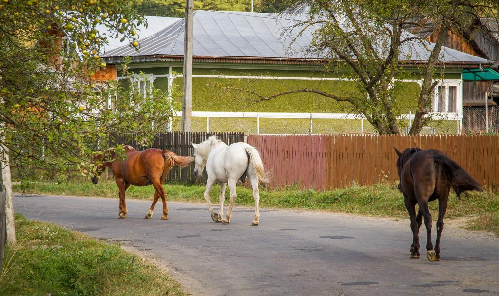 Horse stroll through the streets of Moldova region of Romaania