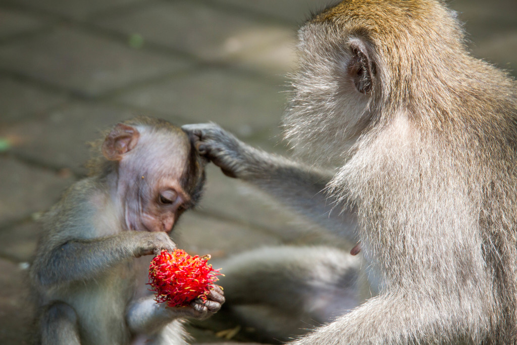 Baby Monkey and Fruit at Sacred Monkey Forest Ubud Indonesia
