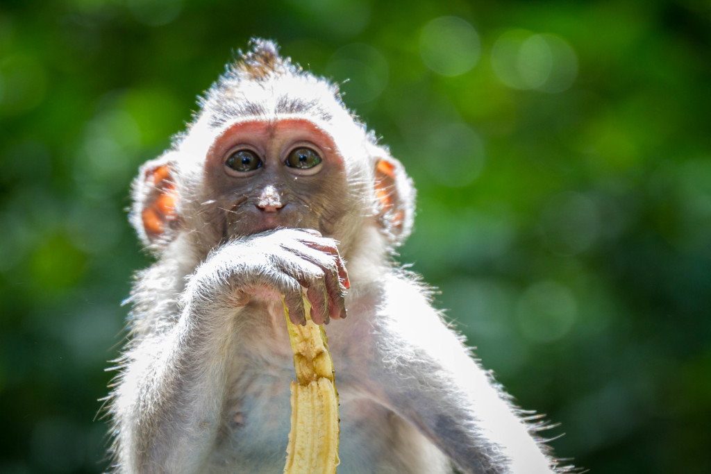 Baby monkey eating Banana at Sacred Monkey Forest Ubud Indonesia