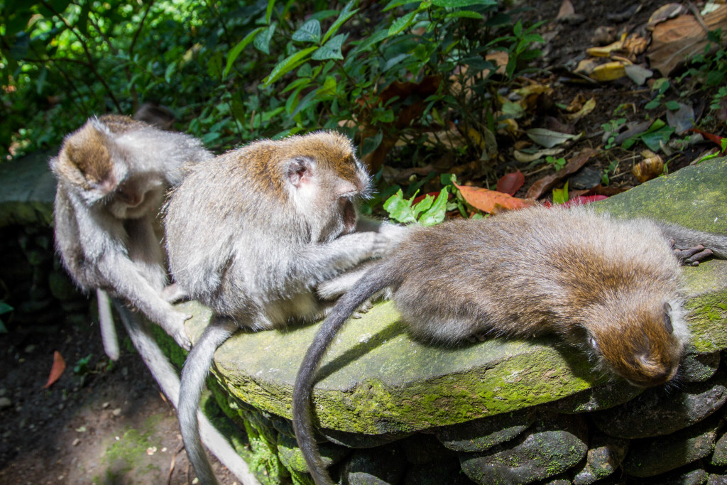 Grooming Monkeys at Sacred Monkey Forest Ubud Indonesia