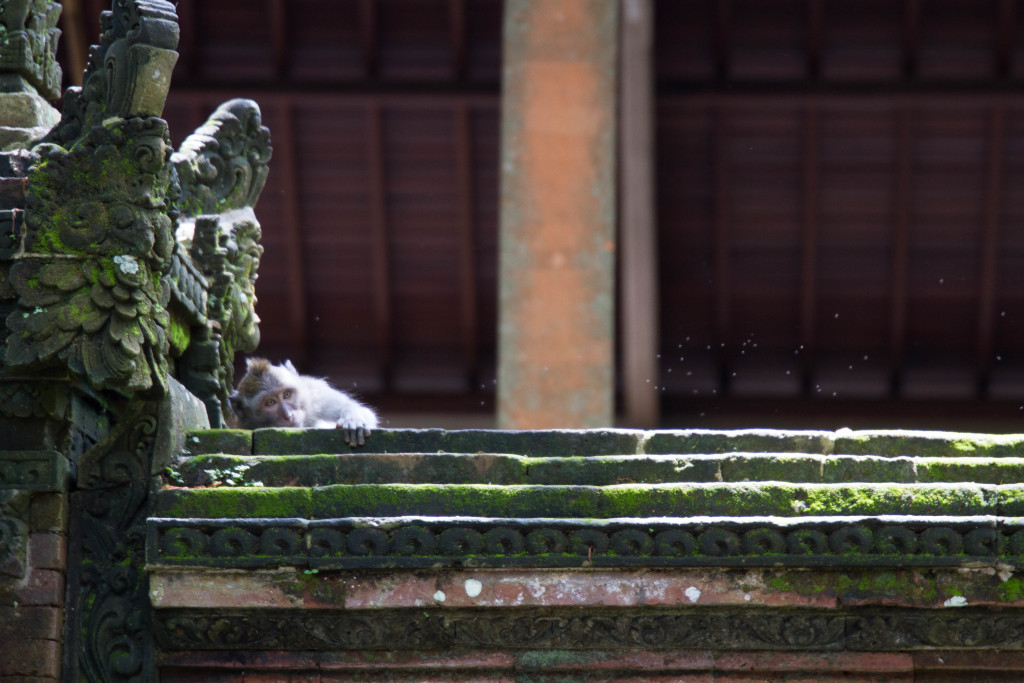 Hide and Seek Monkey at Sacred Monkey Forest Ubud Indonesia
