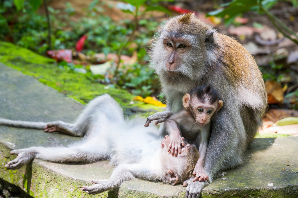 MONKEY FAMILY PLAYING AT Sacred Monkey Forest Ubud Indonesia
