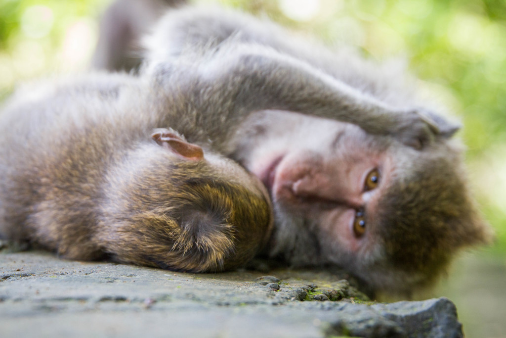 Monkey Family Resting at Sacred Monkey Forest Ubud Indonesia