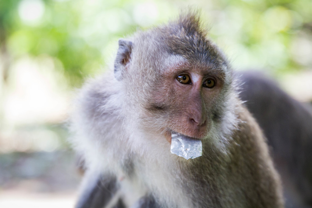 Monkey eats trash left by tourist at Sacred Monkey Forest Ubud Indonesia