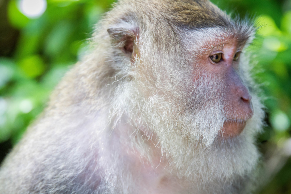 Monkey thinking Sacred Monkey Forest Ubud Indonesia
