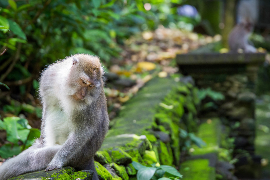 Monkeys at Sacred Monkey Forest Ubud Indonesia