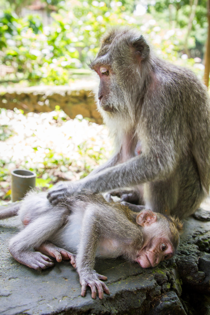 Mother cleans baby monkey at Sacred Monkey Forest Ubud Indonesia