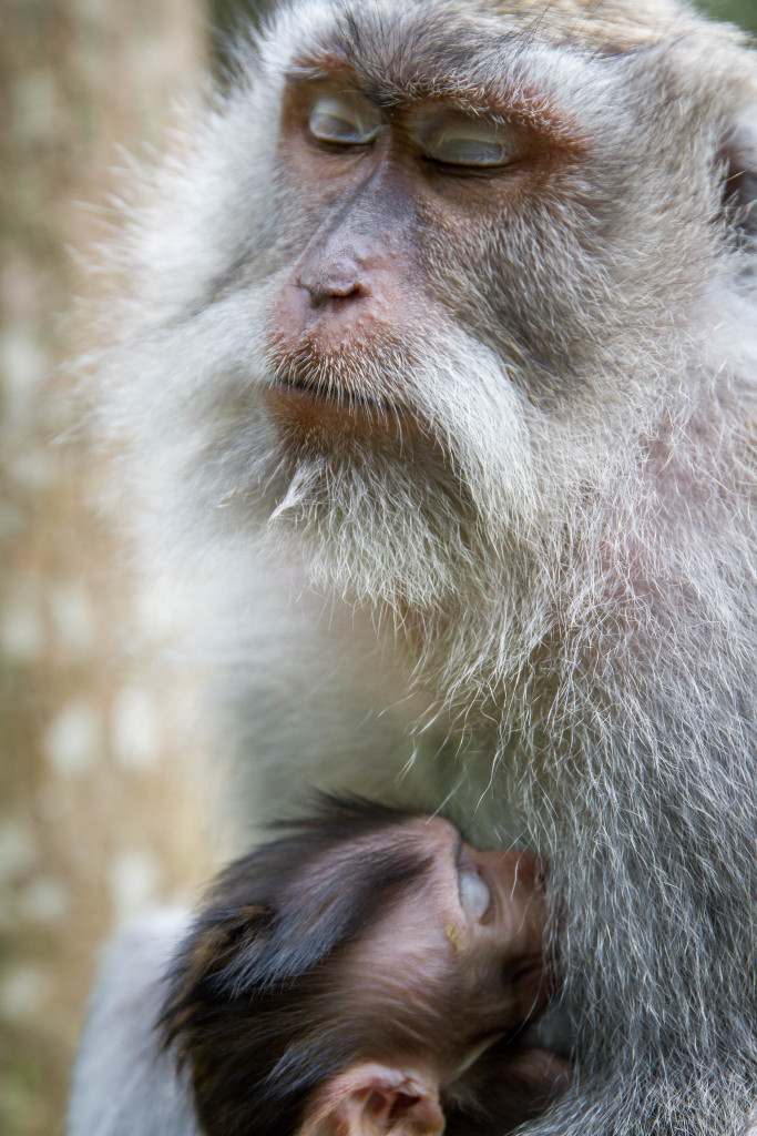 Mother sleeps with Baby Monkey at Sacred Monkey Forest Ubud Indonesia