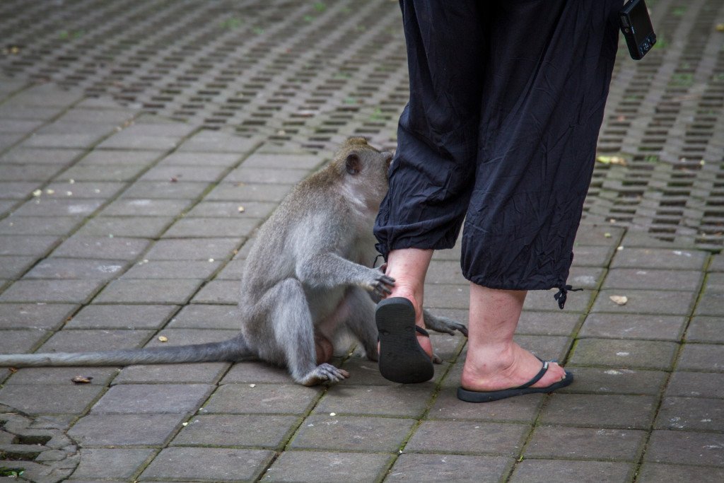 Tourist ridden by Monkey at Sacred Monkey Forest Ubud Indonesia